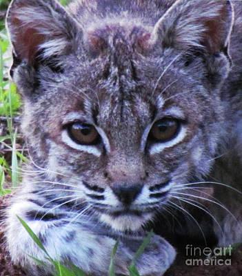 Curious Bobcat Original by John Irons