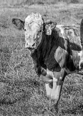 Photograph - Curious Calf by J Laughlin