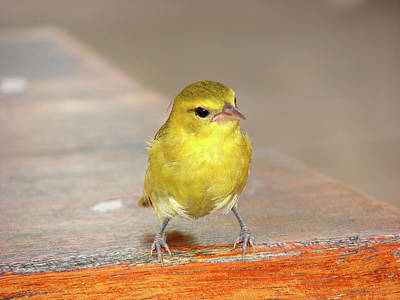 Photograph - Curious Canary  by Brett Winn