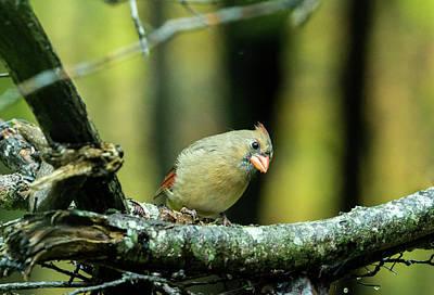 Photograph - Curious Cardinal by Douglas Barnett