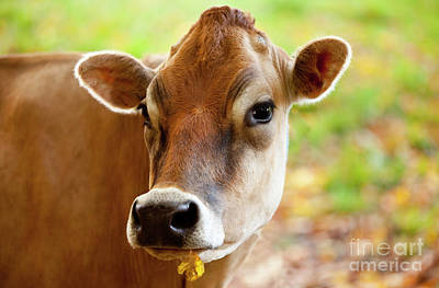 Photograph - Curious Cow by Brian Jannsen