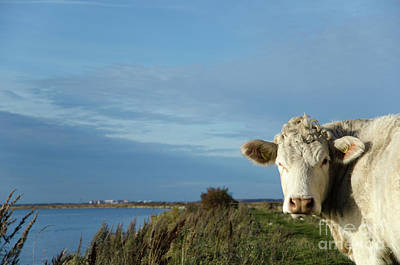 Photograph - Curious Cow By The Coast by Kennerth and Birgitta Kullman