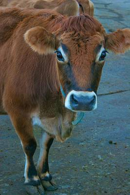 Photograph - Curious Cow by Polly Castor