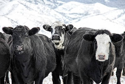 Photograph - Curious Cows In Winter Montana by Jennie Marie Schell