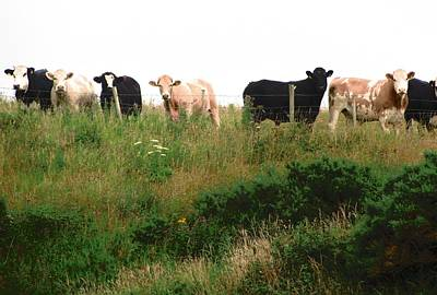 Photograph - Curious Cows by Stephanie Moore