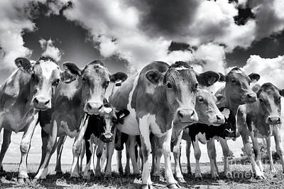Photograph - Curious Cows by Tim Gainey