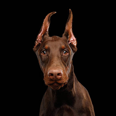 Photograph - Curious Doberman by Sergey Taran