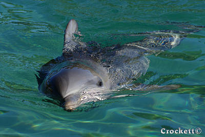 Print featuring the photograph Curious Dolphin by Gary Crockett