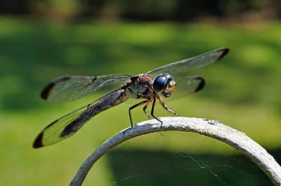 Curious Dragonfly Original