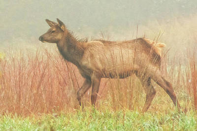 Photograph - Curious Elk Calf by Cora Ahearn