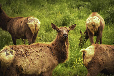 Photograph - Curious Elk by Jennifer Ancker