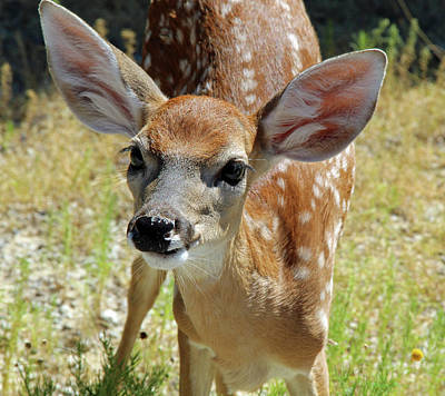 Photograph - Curious Fawn by Inspirational Photo Creations Audrey Woods
