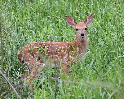 Photograph - Curious Fawn by Doris Potter
