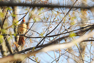 Photograph - Curious Female Cardinal Ginkelmier Inspired by Christina VanGinkel