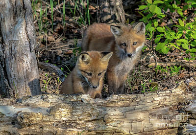 Photograph - Curious Fox Kits by Cheryl Baxter