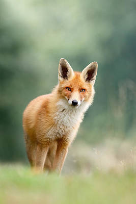 Curious Fox Art Print by Roeselien Raimond