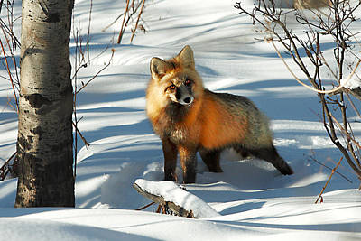 Photograph - Curious Fox by Todd Klassy