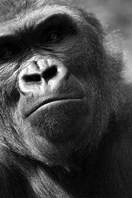 Gorilla Wall Art - Photograph - Curious George by Brad Scott