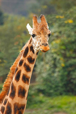 Curious Giraffe Art Print by Naman Imagery