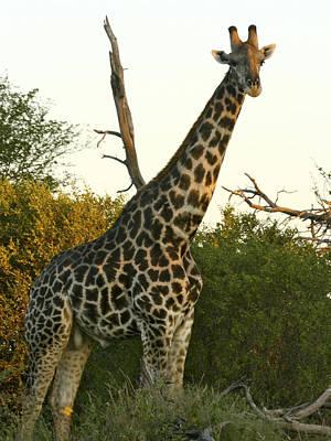 Photograph - Curious Giraffe by Karen Zuk Rosenblatt