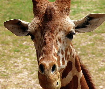 Photograph - Curious Giraffe by Laurel Powell