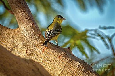 Photograph - Curious Goldfinch  by Robert Bales