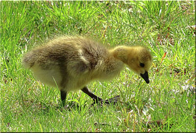 Photograph - Curious Gosling by Mikki Cucuzzo
