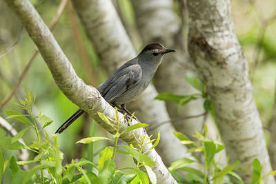Photograph - Curious Gray Catbird by Liza Eckardt