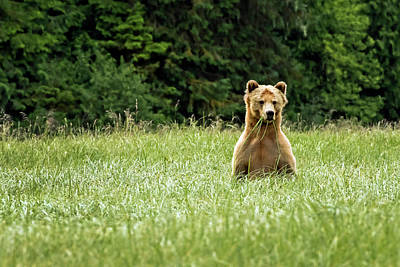 Photograph - Curious Grizzly by Inge Riis McDonald