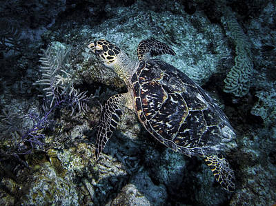 Photograph - Curious Hawksbill Turtle by Jean Noren