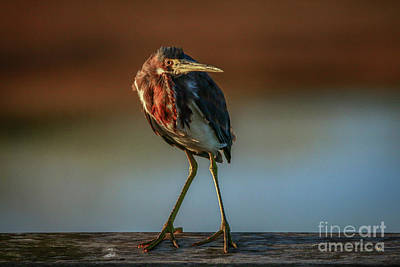 Photograph - Curious Heron by Tom Claud
