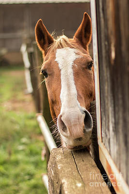 Photograph - Curious Horse by Fabrizio Malisan
