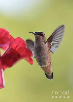 Photograph - Curious Hummingbird In Green by Carol Groenen