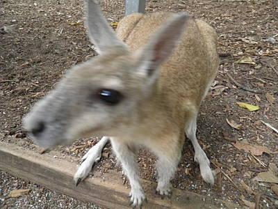 Kangaroo Photograph - Curious Kangaroo by Viktor Milenkov