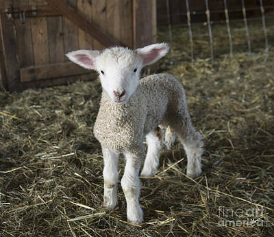 Photograph - Curious Lamb  by Alana Ranney