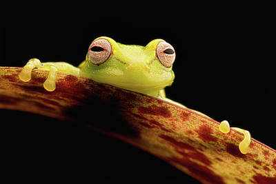 Frogs Photograph - Curious Little Amazonian Tree Frog by Dirk Ercken