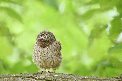 Little Owl Photograph - Curious Little Owl Chick by Roeselien Raimond