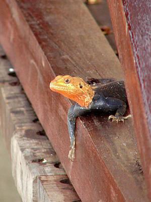 Photograph - Curious Lizard  by Brett Winn