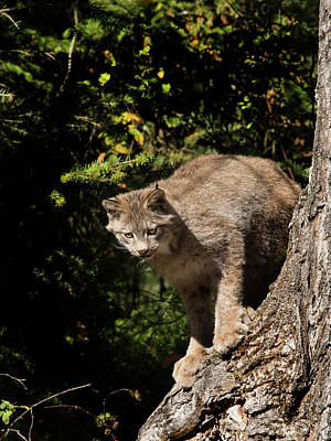 Photograph - Curious Lynx by Roy Nierdieck