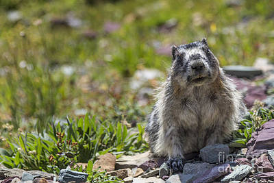 Photograph - Curious Marmot by Jemmy Archer