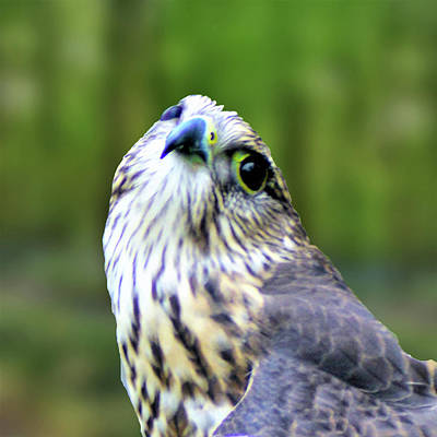 Photograph - Curious Merlin by Kathy Kelly