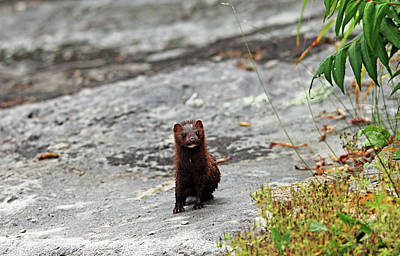 Photograph - Curious Mink by Debbie Oppermann