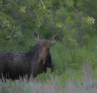 Curious Moose Art Print