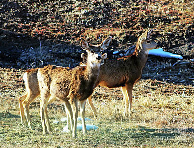 Photograph - Curious Mule Deer Yearlings  by Dale E Jackson
