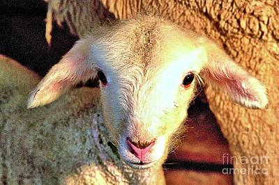 Photograph - Curious Newborn Lamb by Carole Martinez