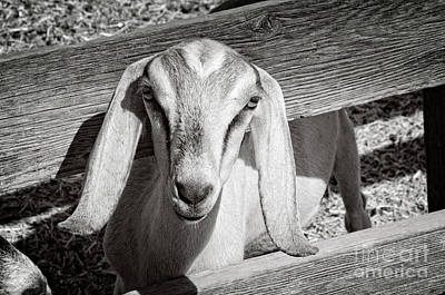 Photograph - Curious Nubian Goat Black And White by Jim And Emily Bush