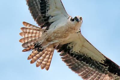 Dan Beauvais Royalty-Free and Rights-Managed Images - Curious Osprey 8839 by Dan Beauvais