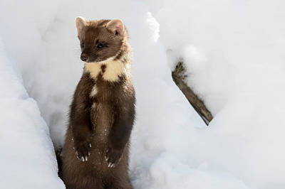Photograph - Curious Pine Marten by Arterra Picture Library