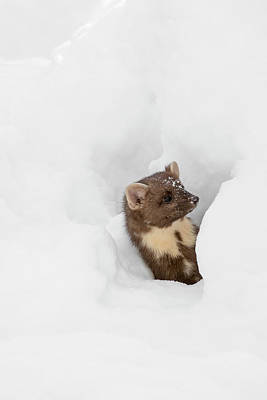 Photograph - Curious Pine Marten In The Snow by Arterra Picture Library