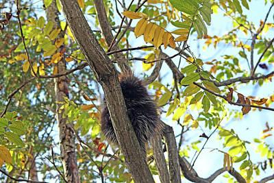 Photograph - Curious Porcupine by Debbie Oppermann